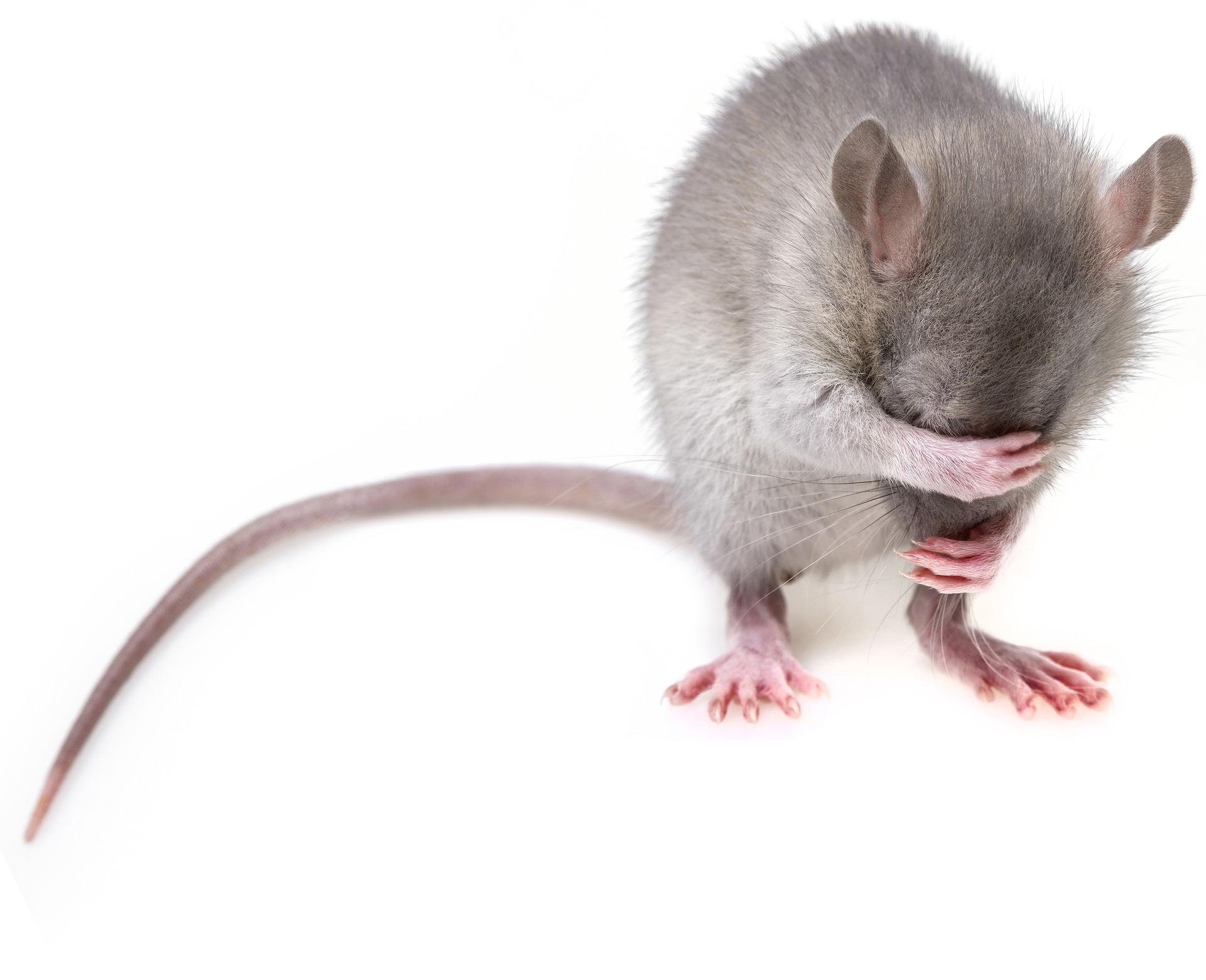 Mäuse mögen unsere Lichtschachtabdeckungen nicht   www.fliegengittermacher.de